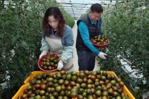 [포토뉴스] 햇수확 '초코볼 토마토' 맛보세요